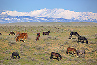 McCullough Peaks Mustang herd east of Cody Wyoming