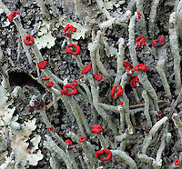 Lipstick Powderhorn Lichen (Cladonia macilenta). Henry Cowell Redwoods State Park. Near Scotts Valley, Santa Cruz Co., Calif.