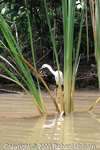 This Egret was stalking fish along the shoreline of a Costa Rican river on the Caribbean side of the country...Birds, rivers, ecosystem, biodiversity, wild, wilderness