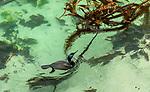USA, California, Monterey Bay , Brandt's cormorant (Phalacrocorax penicillatus)