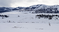 Bison graze on the snowy floor of the Lamar Valley.