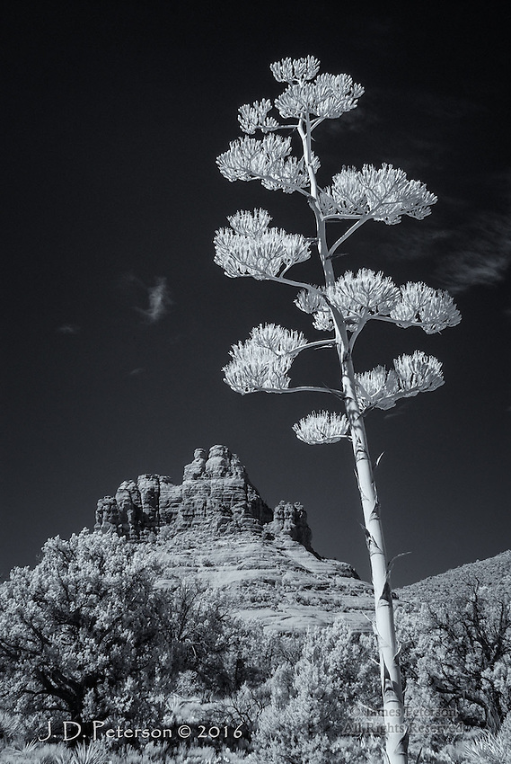 Bell Rock with Agave, Arizona (Infrared)