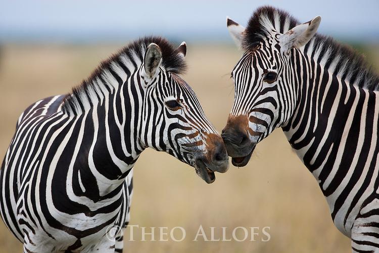 Botswana, Nxai Pan National Park, zebra mother and foal nuzzling(Equus burchelli)