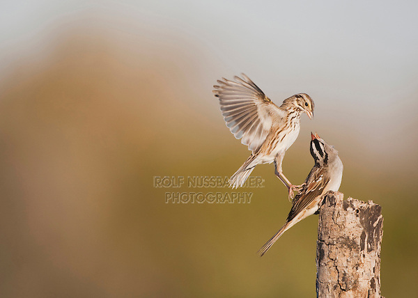 White-crowned Sparrow (Zonotrichia leucophrys), adult fighting with Savannah Sparrow (Passerculus sandwichensis), Sinton, Corpus Christi, Coastal Bend, Texas, USA