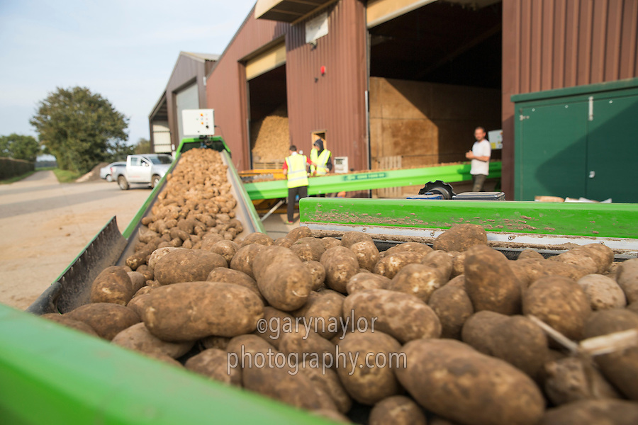 Grading and elevating potatoes into a bulk store - Norfolk, September