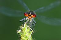 Red-eyed Damselfly - Erythromma najas