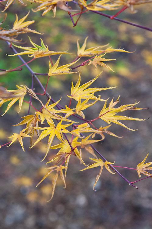 Acer Palmatum Okushimo Alan Buckingham