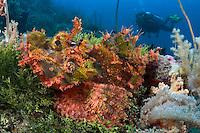 Scorpionfish Scorpaenopsis oxycephala and a diver (MR). Indonesia.