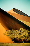 Trees in the foreground demonstrate how immense the dunes are at Sossusvlei, Namibia