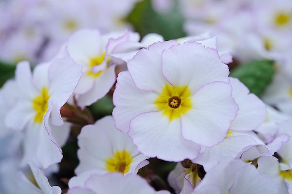 Polyanthus 'Vera Maud' (Barnhaven Julianas polyanthus)