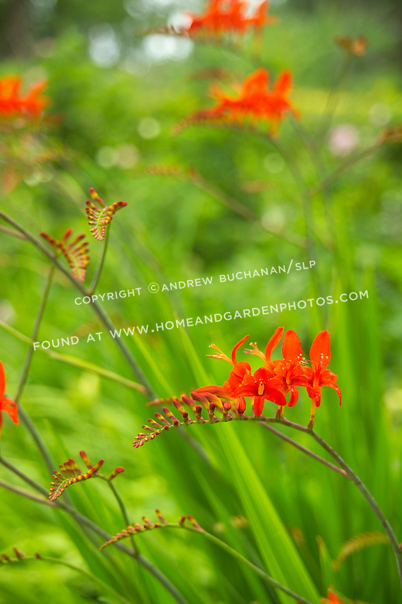 shallow focus detail image of a blooming head of Crocosmia 'firecracker' within a large clump of the same, with other orange-red flowers in soft focus throughout the otherwise green image