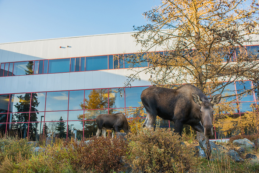 A cow moose and her calf browse in front of UAA's Fine Arts Building.