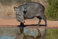 650520270 a wild javelina or collared peccary dicolytes tajacu at a small pond on santa clara ranch in the rio grande valley of south texas united states