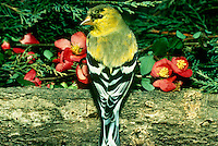 Goldfinches Seasonal Colors