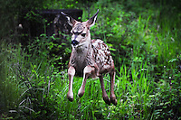 Captured in mid air this speckeled mule deer fawn flies through the Kootenai Forest of Montana