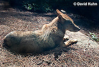 0821-1002  Coyote in North Carolina, Canis latrans  © David Kuhn/Dwight Kuhn Photography