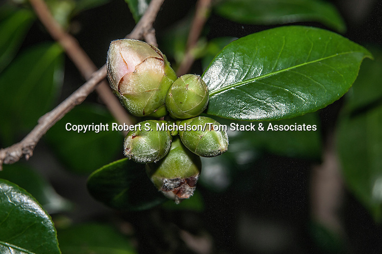 Camelia Japonica with closed buds
