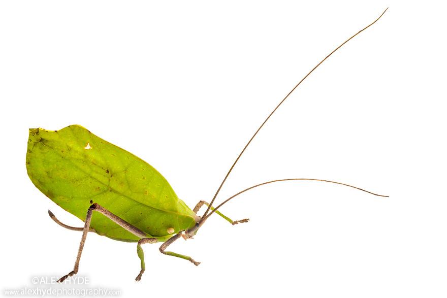 Leaf-mimicking Katydid (Tettigoniidae) photographed on a white background in mobile field studio. Manu Biosphere Reserve, Amazonia, Peru. November.