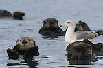 sea otters and gull