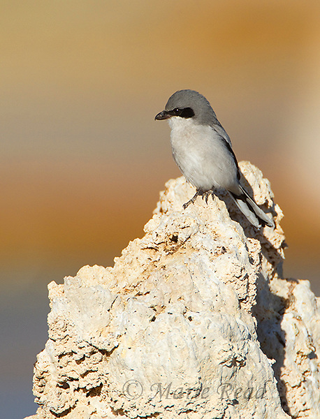 Loggerhead Shrike (Lanius ludovicianus) in autumn, perched on tufa tower from which it watches for prey, Mono Lake, California, USA