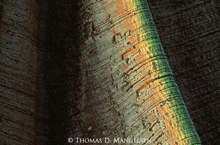 Colorful bark of a fig tree in Nairobi, Kenya.