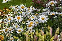 Leucanthemum superbum 'Alaska' Shasta Daisy flowering in Georgeson Botanical Garden, Fairbanks Alaska