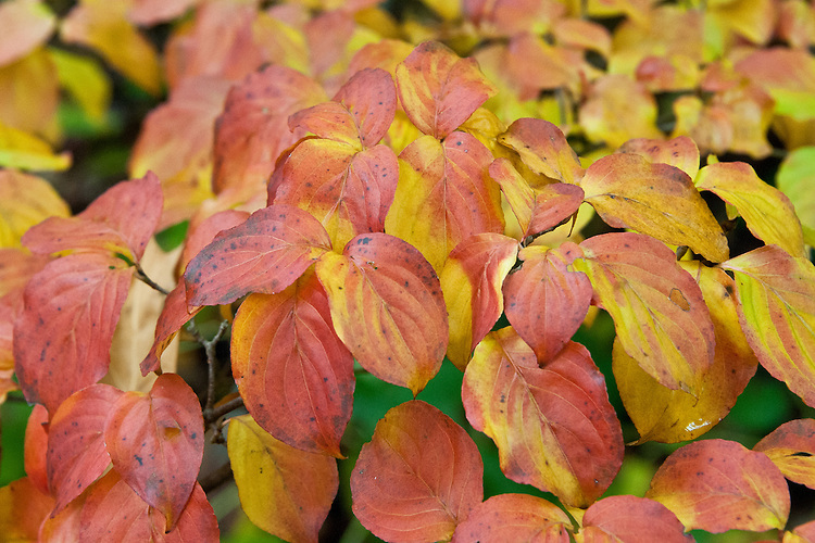Autumn foliage of Cornus kousa 'Miss Satomi', early November.