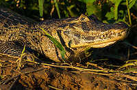 Large Yacaré Caiman (Caiman yacare) approaches the river bank in evening light.  The Pantanal, Brazil.