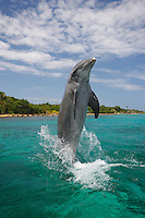 qk0713-D. Bottlenose Dolphin (Tursiops truncatus) tail-walking. Honduras, Caribbean Sea..Photo Copyright © Brandon Cole. All rights reserved worldwide.  www.brandoncole.com..This photo is NOT free. It is NOT in the public domain. This photo is a Copyrighted Work, registered with the US Copyright Office. .Rights to reproduction of photograph granted only upon payment in full of agreed upon licensing fee. Any use of this photo prior to such payment is an infringement of copyright and punishable by fines up to  $150,000 USD...Brandon Cole.MARINE PHOTOGRAPHY.http://www.brandoncole.com.email: brandoncole@msn.com.4917 N. Boeing Rd..Spokane Valley, WA  99206  USA.tel: 509-535-3489