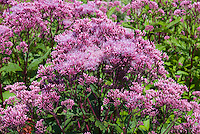 Eupatorium purpureum 'Purple Bush' atropurpureum type Joe Pye Weed in flowers