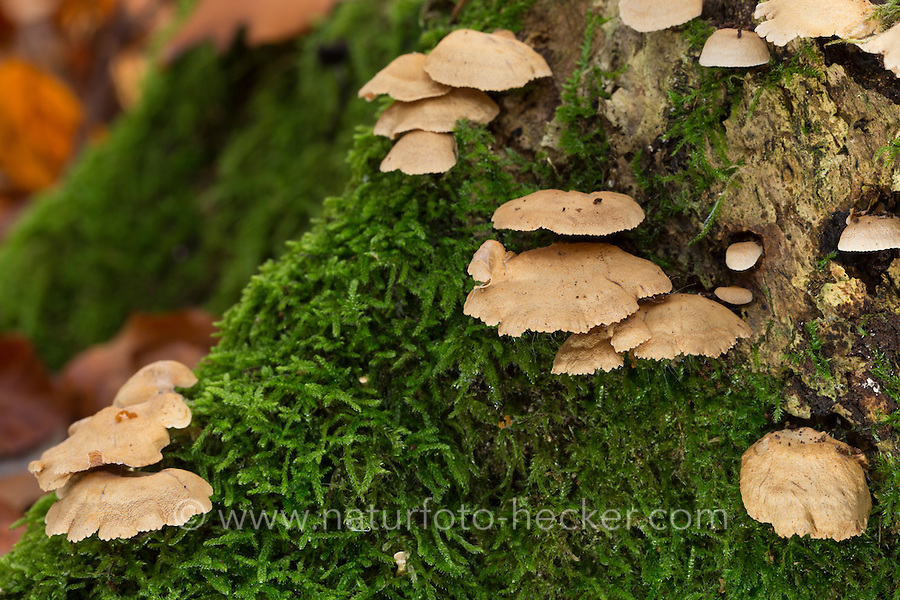 Herber Zwergknäueling, auf Totholz, Stubben einer Eiche, Bitterer Muschelseitling, Bitterscharfer Zwergknäueling,  Eichen-Zwergknäueling, Eichenzwergknäueling, Eichenmuschelseitling, Panellus stipticus, Panellus stypticus, Pleurotus stipticus, Bitter Oysterling, bitter oyster, astringent panus, luminescent panellus, stiptic fungus