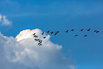 Flock of Canada geese flying in late summer