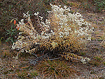 Pearly everlasting, Anaphalis margaritacea, compositae, daisy family