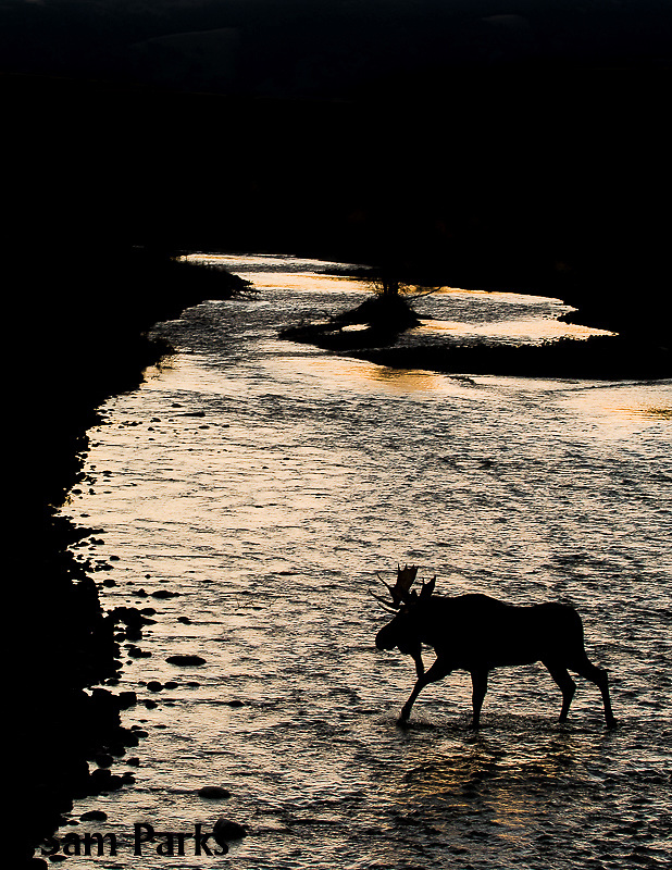 Bull moose fording river during the rut. Grand Teton National Park, Wyoming.