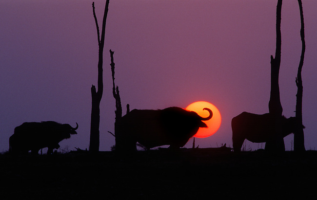 Sunset behind CAPE BUFFALOS (Syncerus Caffer) one of Africa's most dangerous animals - LAKE KARIBA, ZIMBABWE