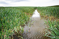Flooded tramline in winter wheat - Lincolnshire, May
