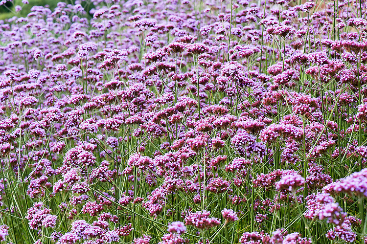 Verbena bonariensis, late August.