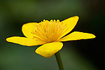 A close up of a Marsh Marigold.