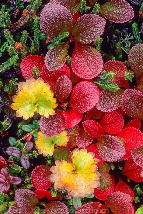 Red bearberry, cranberry, Arctic, Alaska