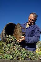 Europe/Hongrie/Tokay/Env Sarospatak: Les vignes du château Megyer - Vendange à l'ancienne