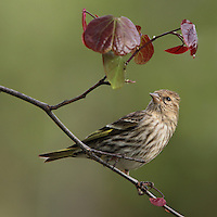 Pine Siskin and Texas Redbud Tree in Spring.