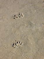 Hundespur, Hunde-Spur, Trittsiegel, Pfotenabdruck im Sand, Hund, Haushund, Haus-Hund, Canis lupus familiaris, domestic dog