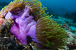 Purple Barrel Anemone, Radianthus magnifica