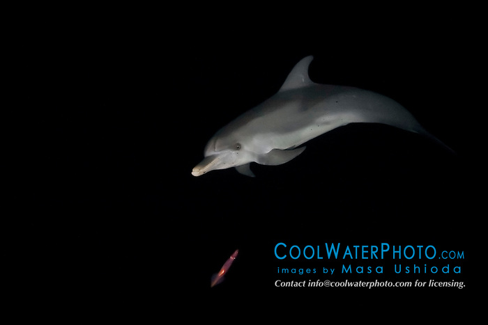 Atlantic spotted dolphin, Stenella frontalis, hunting for squid and fish at night, Grand Bahama, Bahamas, Atlantic Ocean