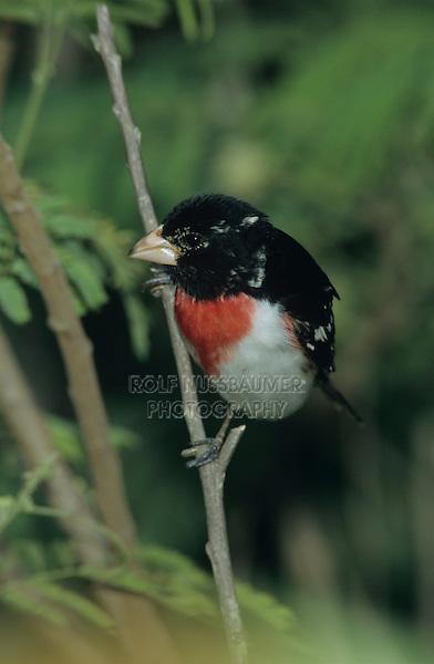 Rose-breasted Grosbeak, Pheucticus ludovicianus, male, South Padre Island, Texas, USA