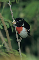 Rose-breasted Grosbeak, Pheucticus ludovicianus, male, South Padre Island, Texas, USA