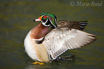 Wood Duck (Aix sponsa) male flapping its wings, breeding plumage, California USA,