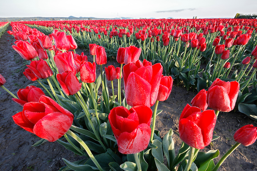 Rows of red tulips at sunrise, Mount Vernon, Skagit Valley, Skagit County, Washington, USA