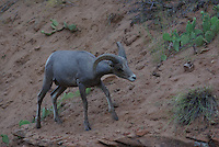 Desert Bighorn Sheep Ram seen in Zion National Park on a summer day.