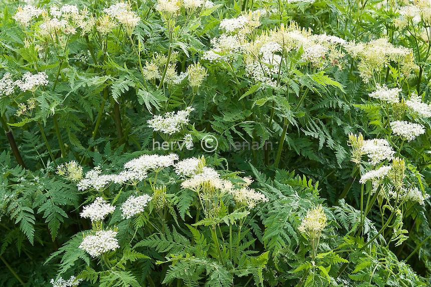 Cerfeuil musqué (Myrrhis odorata) // Cicely or Sweet Cicely, Myrrhis odorata